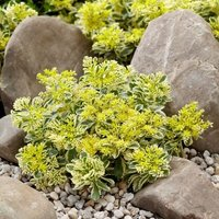 Sedum takesimense Atlantis (Nonsitnal) (PBR)