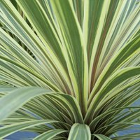Cordyline australis Torbay Dazzler 2 litre pot