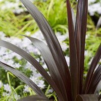 Cordyline obtecta Superstar (Albatross) (PBR)