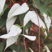 Image of Actinidia tetramera var. maloides 3 lt pot (60cm cane)