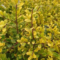 Product photograph showing Ilex Crenata Golden Gem 9cm Pot