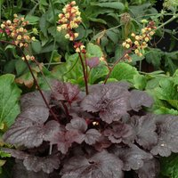 Product photograph showing Heuchera Gotham Pbr 9cm Pot
