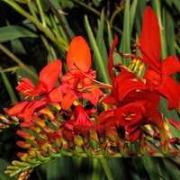 Product photograph showing Crocosmia Mistral 2 Litre Pot