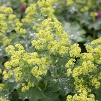 Product photograph showing Alchemilla Mollis 5 Litre Pot