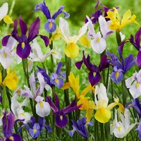 Dutch Iris select growers mixture 100 + 50 FREE bulbs