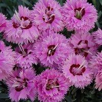 Dianthus Pop Star TM (WP04 ESTHER) (PBR)