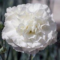 Dianthus Bridal Star TM (WP18 CAS06) (PBR)