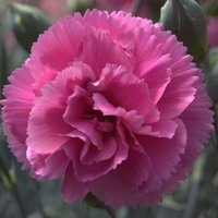 Dianthus Lily The Pink (WP05 IDARE) (PBR)