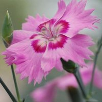 Dianthus Shirley Temple (WP15 PIE44) (PBR)