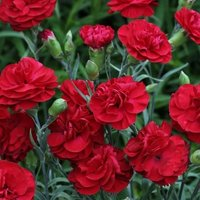 Dianthus Passion (Wp Passion) (Scent First Series) (PBR)