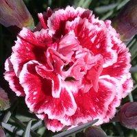 Dianthus Sugar Plum (WP08 IAN04) (PBR)