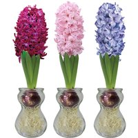 Product photograph showing Hyacinth Vase 2 1 Free Vases