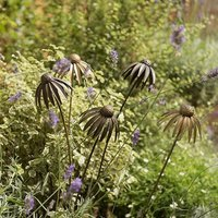 Product photograph showing Echinacea Plant Stake - Antique Brass Single Short