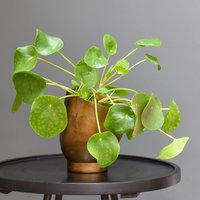 Product photograph showing Tilting Pot And Saucer Chinese Money Plant Missionary Plant