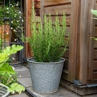 Embossed aged planter and rosemary / rosmarinus officinalis