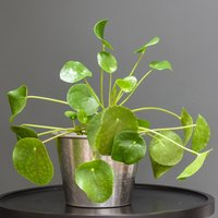 Product photograph showing Hand Etched Aluminium Planter Chinese Money Plant Missionary Plant