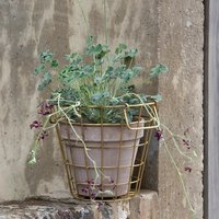 Product photograph showing Brass Pot Basket Vaso Taupe Classic Pot With Species Pelargoniums