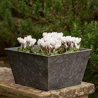 Dark galvanised square planter and cyclamen hederifolium alb