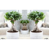 1x oder 2x Bonsai Ficus Ginseng optional mit Pflanztopf