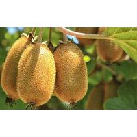 """3er-oder 6er-Set schnell wachsende, selbstfruchtende Kiwi-Pflanzen """"Jenny"""""""