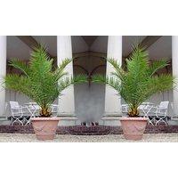 1x, 2x oder 4x Kanarische Dattelpalme in 60-70 cm oder 120-140 cm Höhe