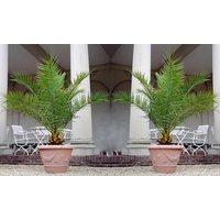 1x, 2x oder 4x Kanarische Dattelpalme in 60-70 cm oder 100 - 120 cm Höhe