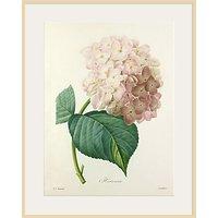 Royal Horticultural Society, Pierre Joseph Celestin Redoute - Hortensia