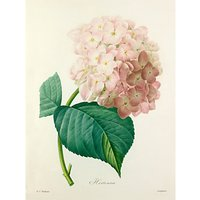 Royal Horticultural Society, Pierre Joseph Celestin Redout - Hortensia