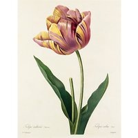 Royal Horticultural Society, Pierre Joseph Celestin Redout - Plate 142
