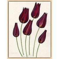 Royal Horticultural Society, John Paul Wellington Furse - T. mauritiana
