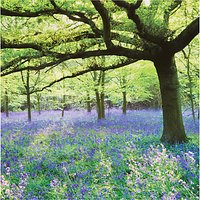 Woodmansterne Bluebells In Field Greeting Card