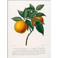 RHS - Citrus Aurantium Unframed Print, 30 x 40cm