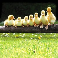 Paper House Seven Ducklings Greeting Card