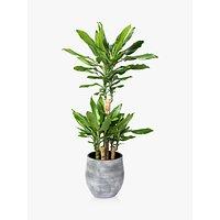 The Little Botanical Large Dracaena Ceramic Pot Plant
