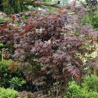 Kaleidoscope 3 Acers Collection Varieties in 1 Litre Pots