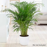 Kaleidoscope Areca Palm Easy Care House Plant