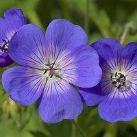 Kaleidoscope Geranium 'Rozanne'