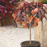 Kaleidoscope Peach 'Crimson Bonfire'