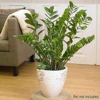 Kaleidoscope Zamioculcas Zamiifolia Easygrow Houseplant