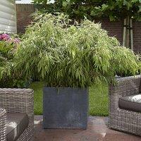 Pair Of 'Fountain Bamboos' 60 cm Tall