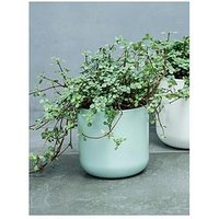 Product photograph showing Ivyline Real Pilea Glauca Plant In Pot