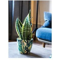 Product photograph showing Ivyline Real Snake Plant In Leaf Pot