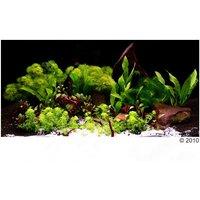 Zooplants 14 plantes Plantes d'aquarium Univers asiatique