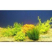 Aquarienpflanzen Zooplants Vordergrund Sortiment - 5 Topfpflanzen