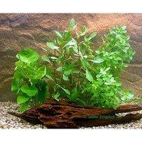 Aquarienpflanzen Zooplants Einsteiger Set - 4 Pflanzen