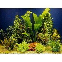Aquarienpflanzen Zooplants für 80 cm Aquarien - 10 Topfpflanzen