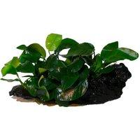 Anubias nana auf Mangrovenwurzel Set - 2 Speerblätter (A.nana) auf Wurzel