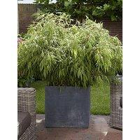 Pair Of Fargesia Rufa 'Fountain Bamboos' 2L Pot 70-80Cm Tall