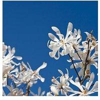 Magnolia Stellata Standard 3L Potted Plant 1M Tall