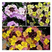 Erysimum Hardy Wallflower 'Summer Skies' Mix 3 X 9Cm Potted Plants